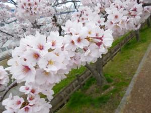 おそ~~くなりました。2015年の桜 ✿